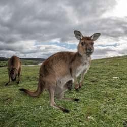 Kangaroo Island 250