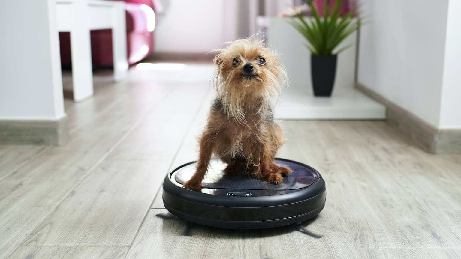 Yorkshire terrier dog sitting on robot a vacuum cleaner
