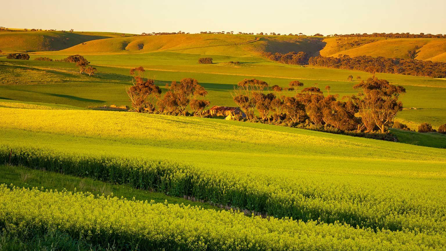 Canola fields in Adelaide.