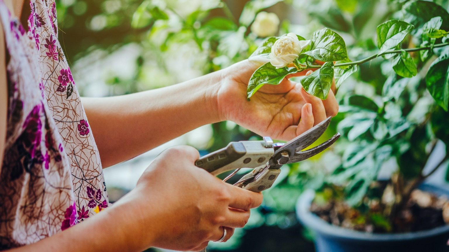 Cropped Hand Of Woman Cutting Arabian Jasmine Flower With Pruning Shears