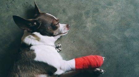 Cruciate ligament in dogs