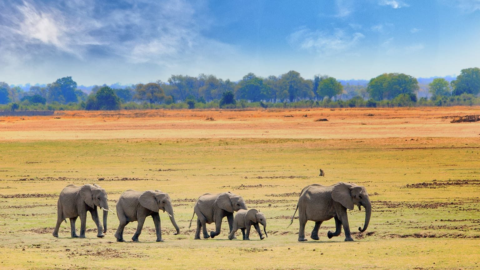 African Elephants walking across the Southwest National Park, South Africa