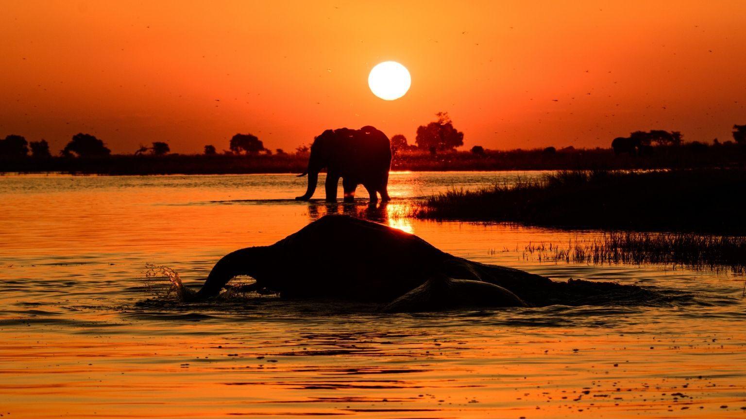 Elephant in Chobe River in Botswana during sunset