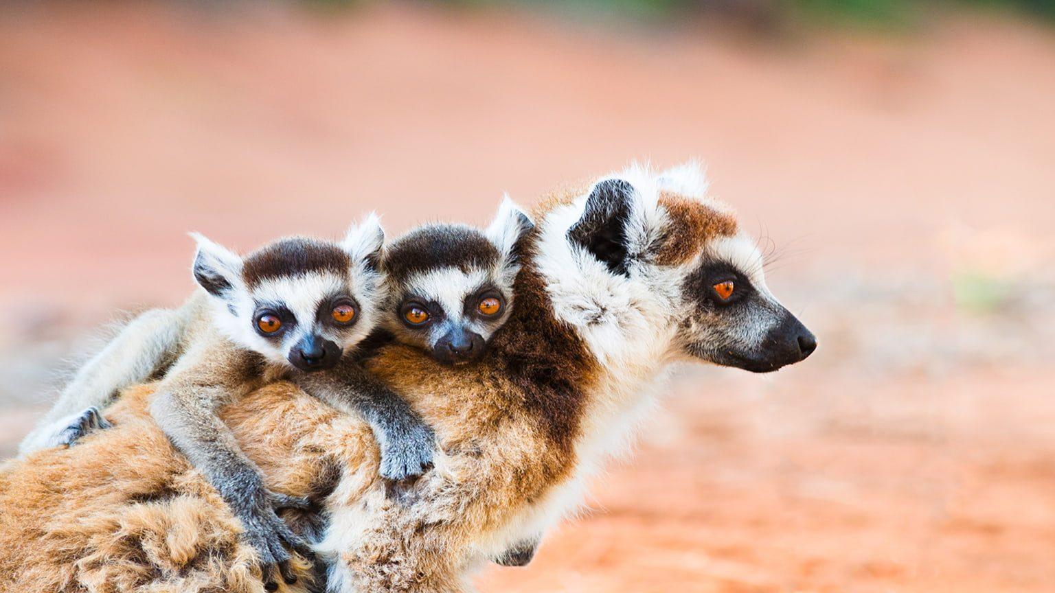 Female ringtailed lemur in Berenty reserve, Madagascar