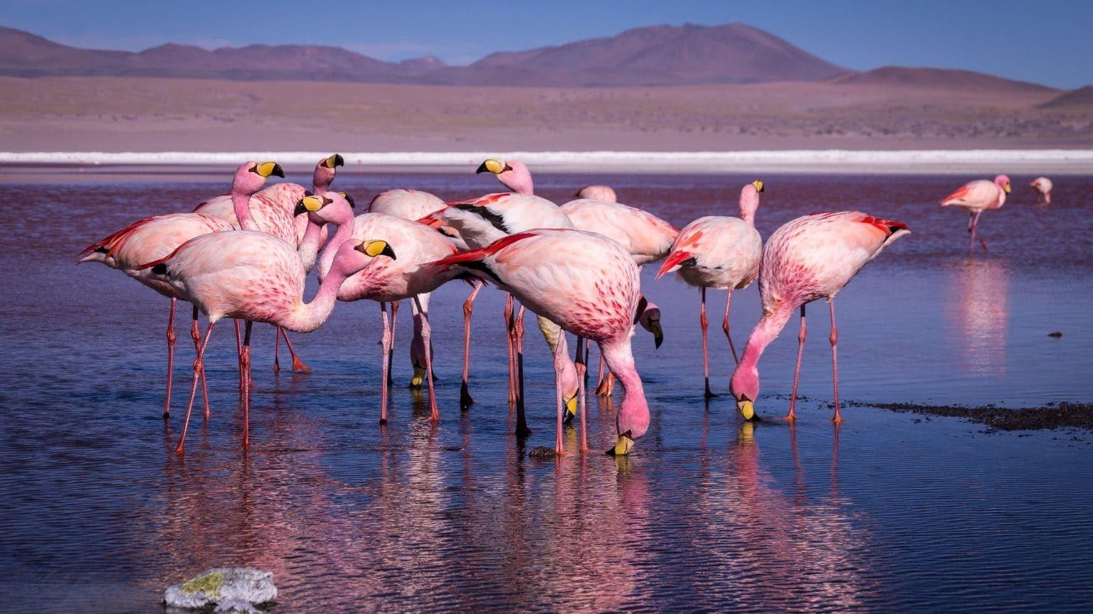 Pink flamingos in Bolivia