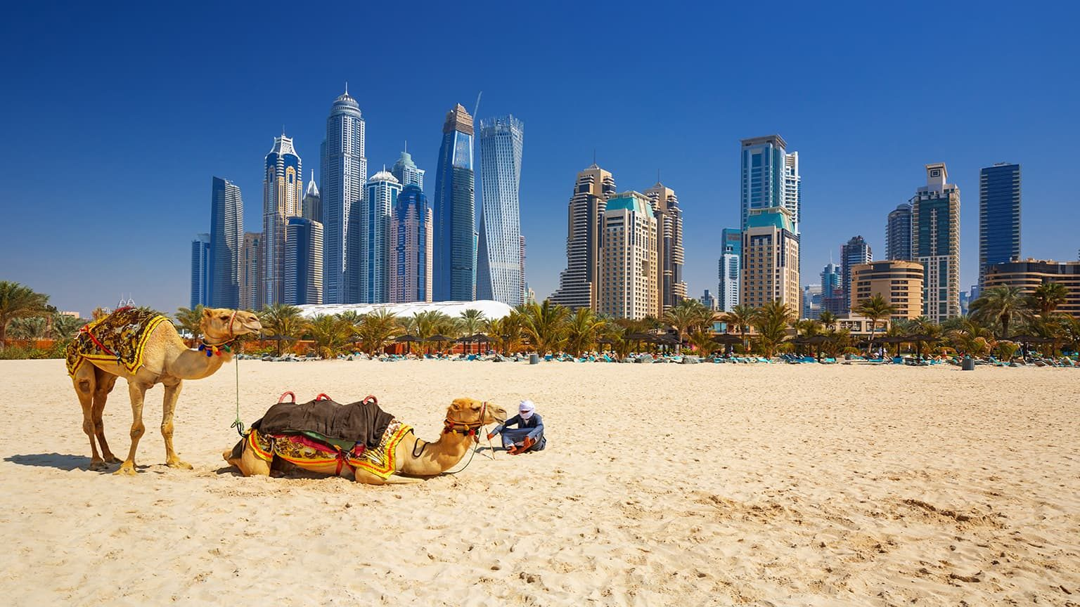 The camels on Jumeirah beach and skyscrapers in the backround in Dubai