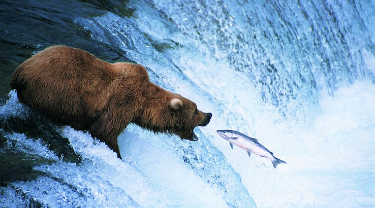 Grizzly Bear Feeds on a Jumping Salmon, Alaska
