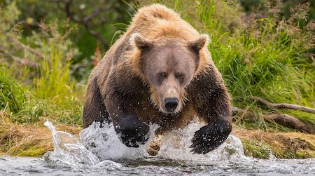 Alaska Peninsula brown bear (Ursus arctos horribilis) hunting for salmon, Katmai National Park, Alaska, USA