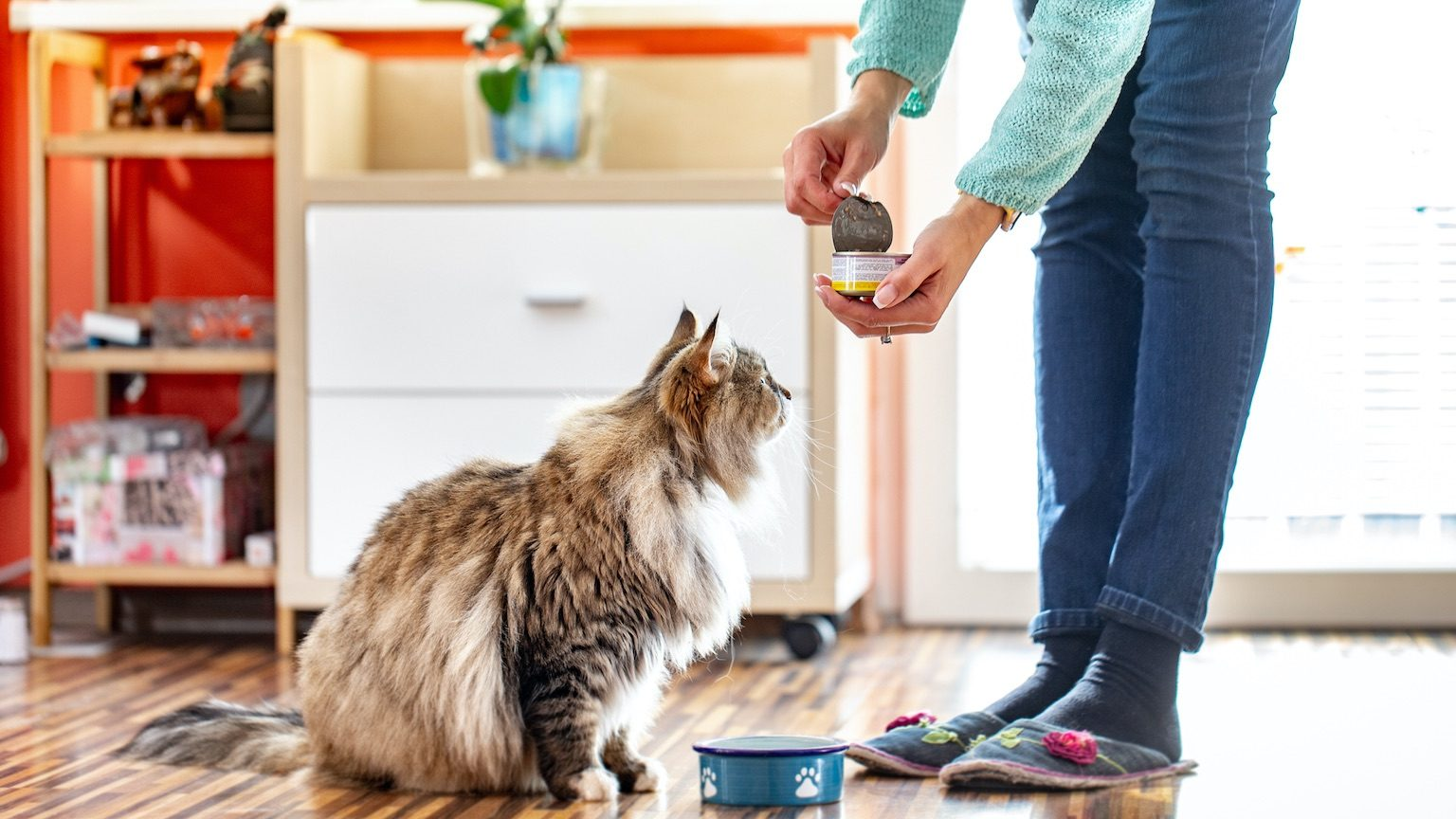 Adult Woman Feeding Her Siberian Cat With Can Food.