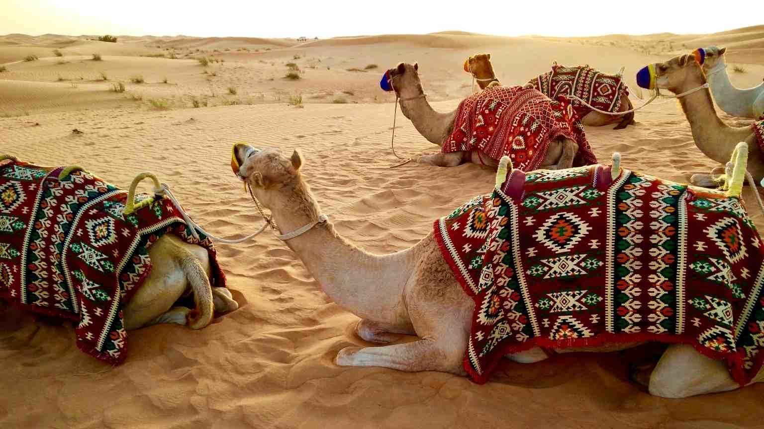 Camels in the desert near Dubai, UAE