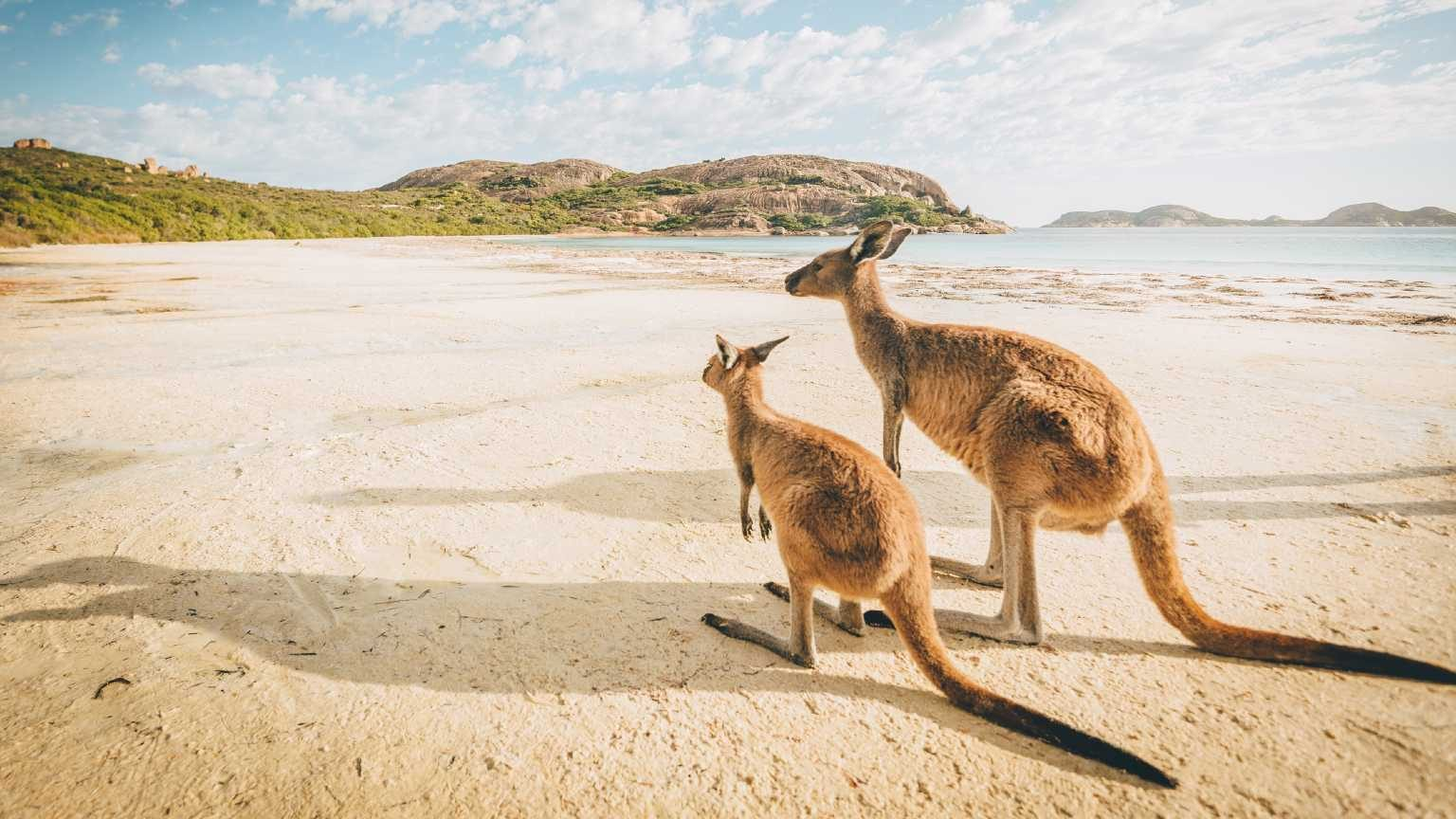 Pair of kangaroos on a beach looking into the distance.