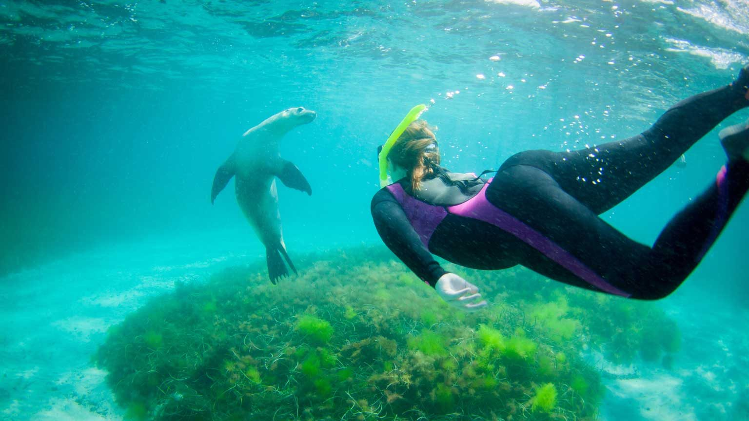Swimming with wild sealions, Port Lincoln South Australia