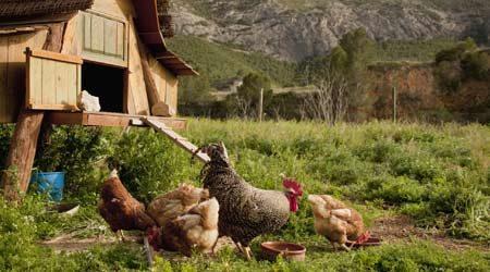 Chicken coop services