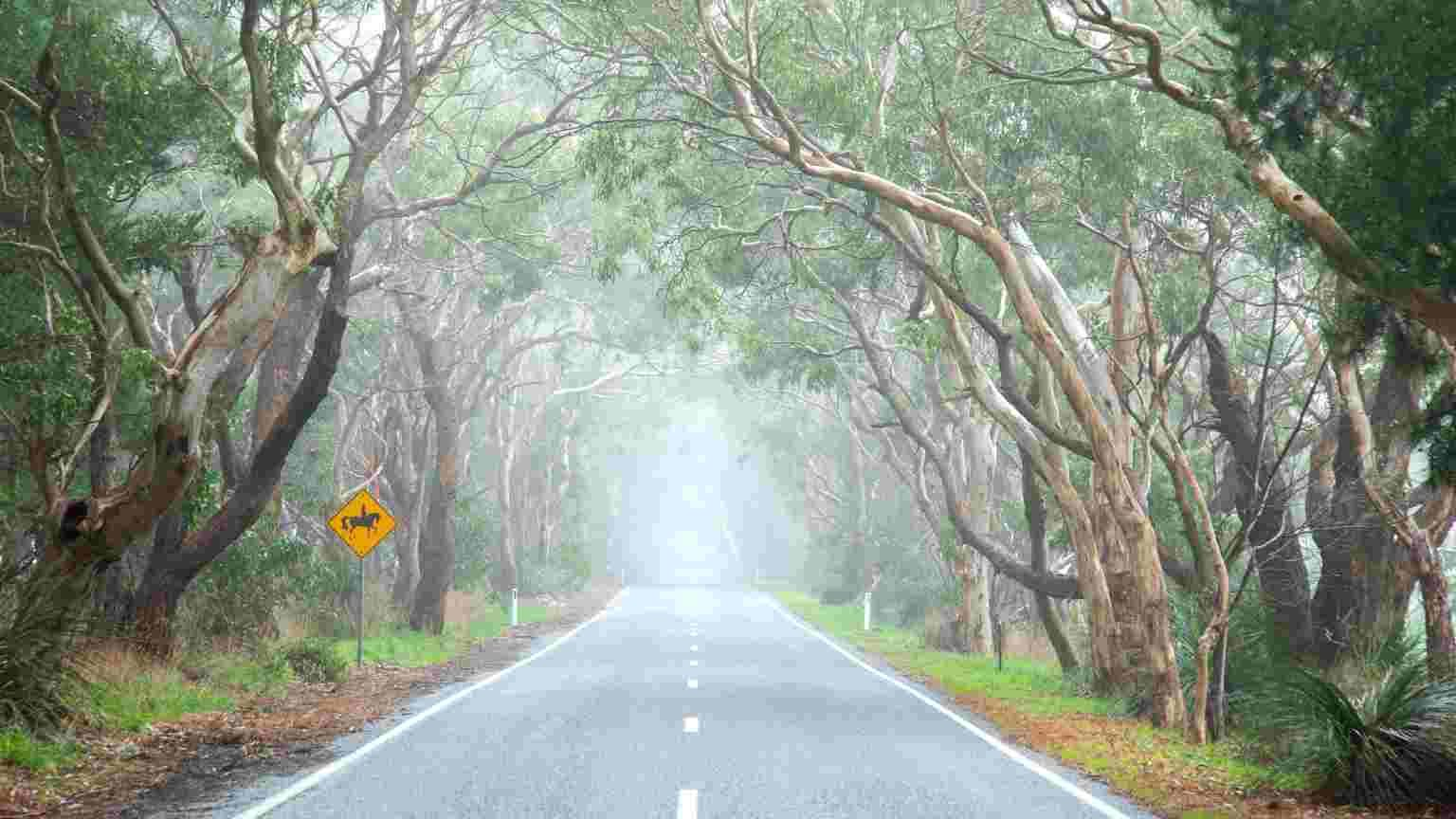 Large eucalyptus gum tree lined road on a misty foggy morning , Adelaide Hills, Australia