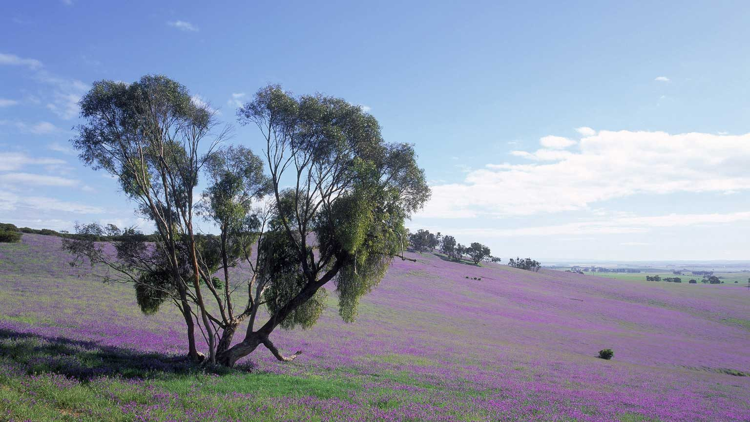 Tree & purple weed in rural landscape, Mintaro, Clare Valley