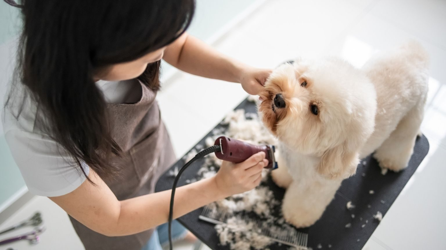 grooming a brown color toy poodle dog