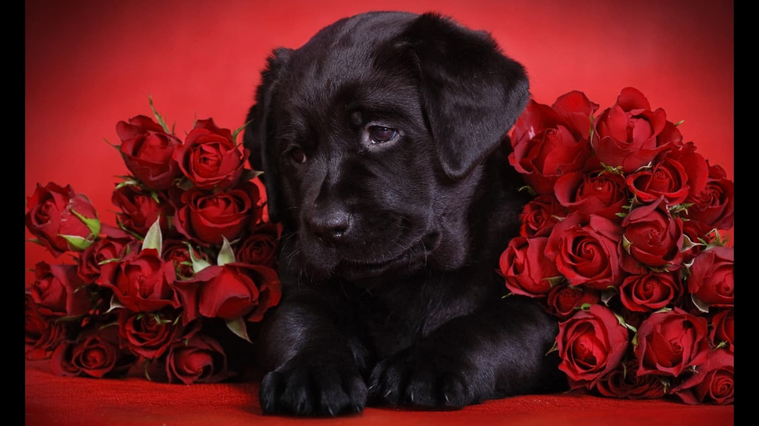 Labrador Puppy With Red Roses