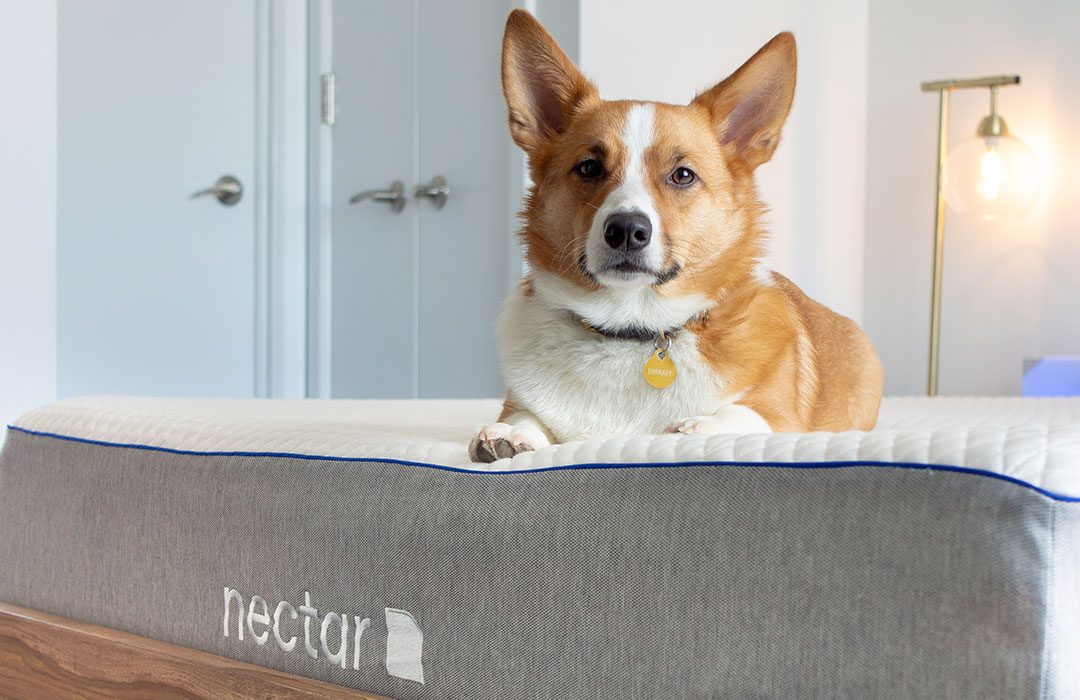 Dog sitting on top of a Nectar Mattress