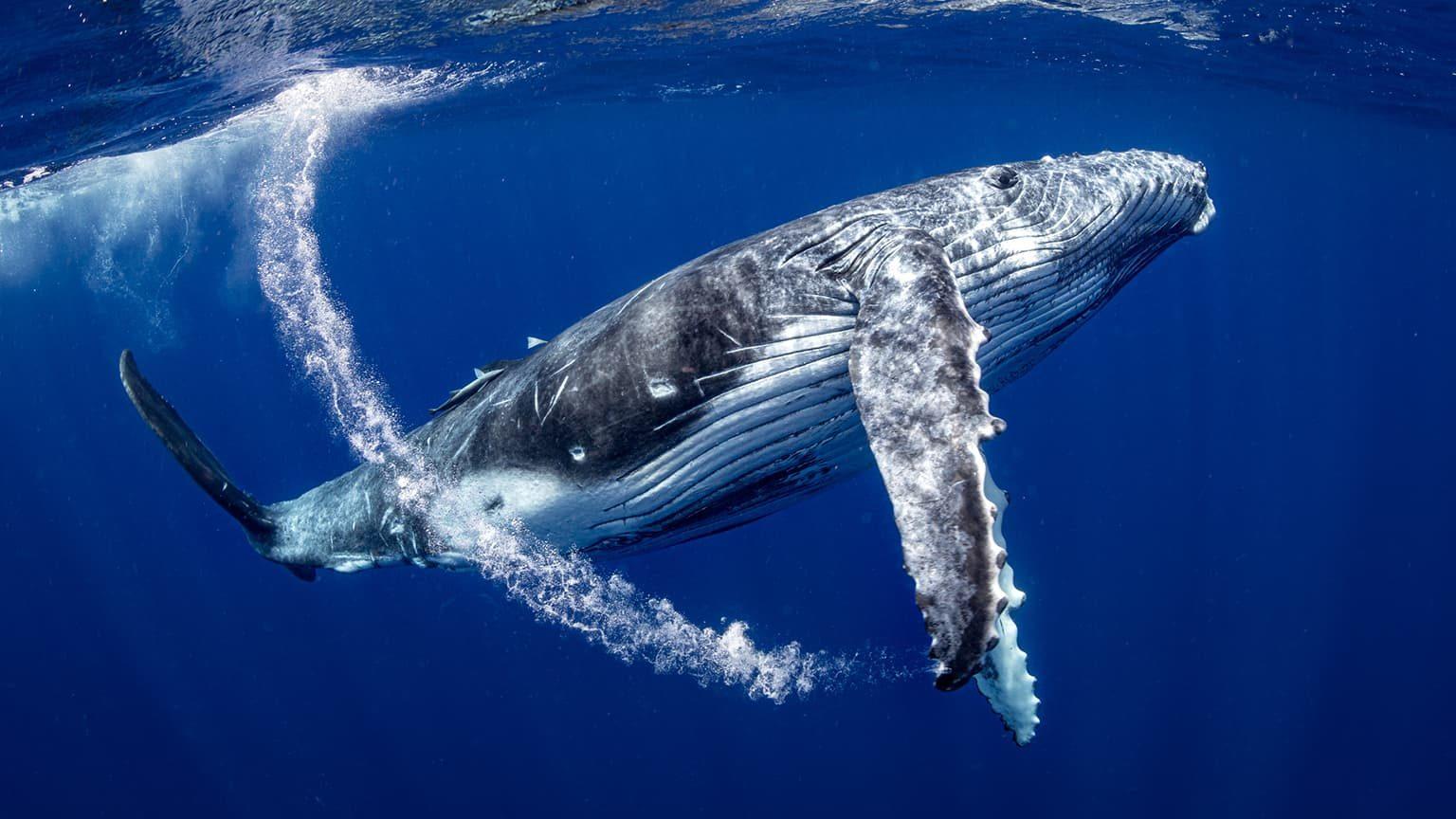 Humpback Whales of Tonga