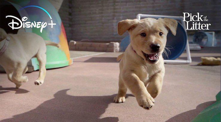 Disney+ pick of the litter puppy running