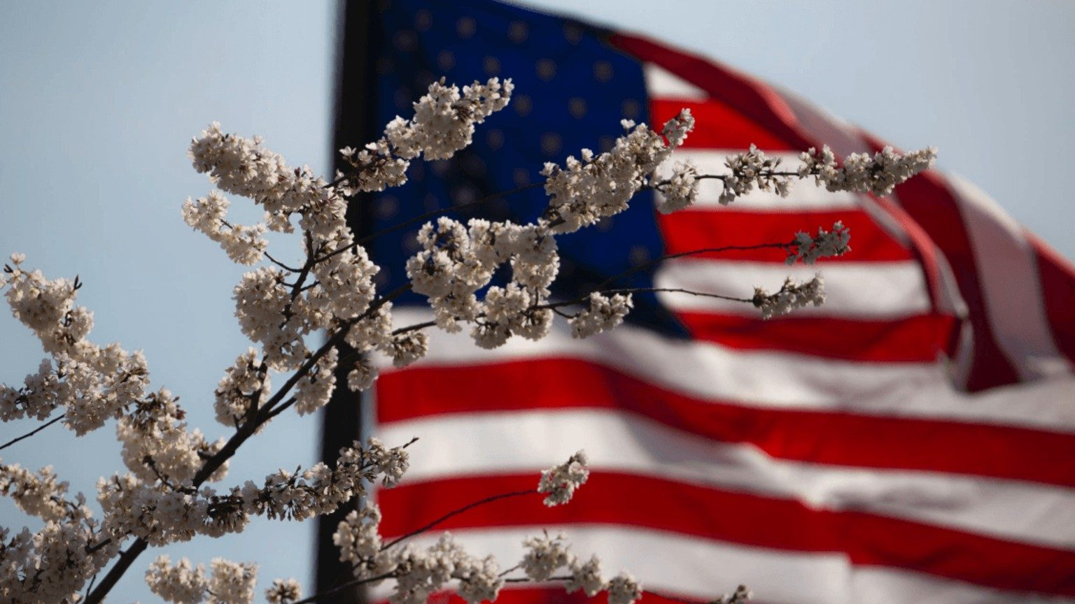 White flowers on a branch with American flag in the background
