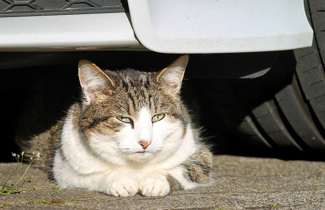 cat resting under car
