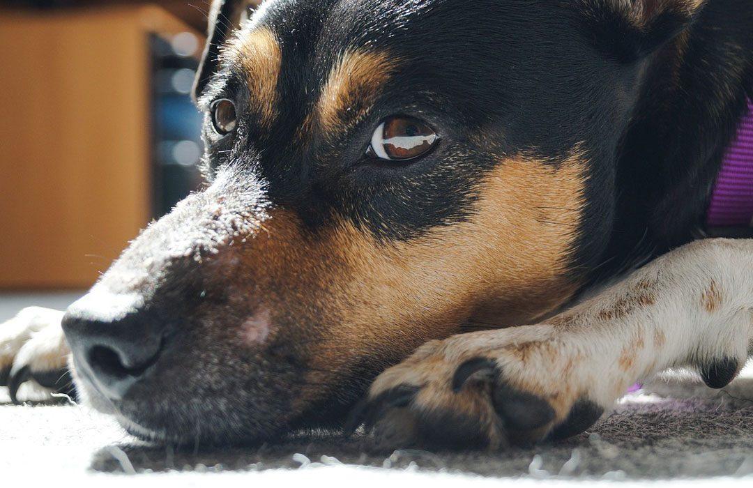Sick dog on the floor
