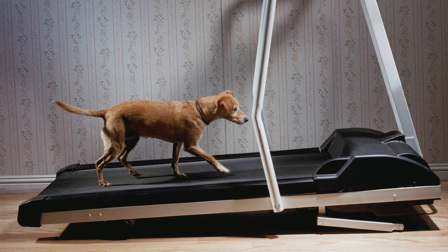 Dog walking in trademill