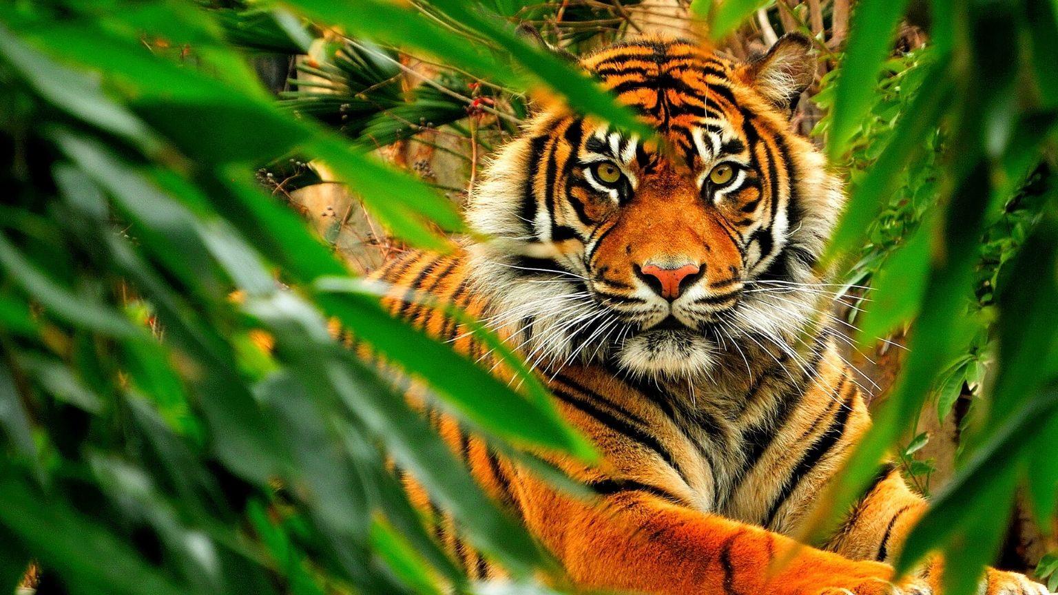 Tiger behind leaves