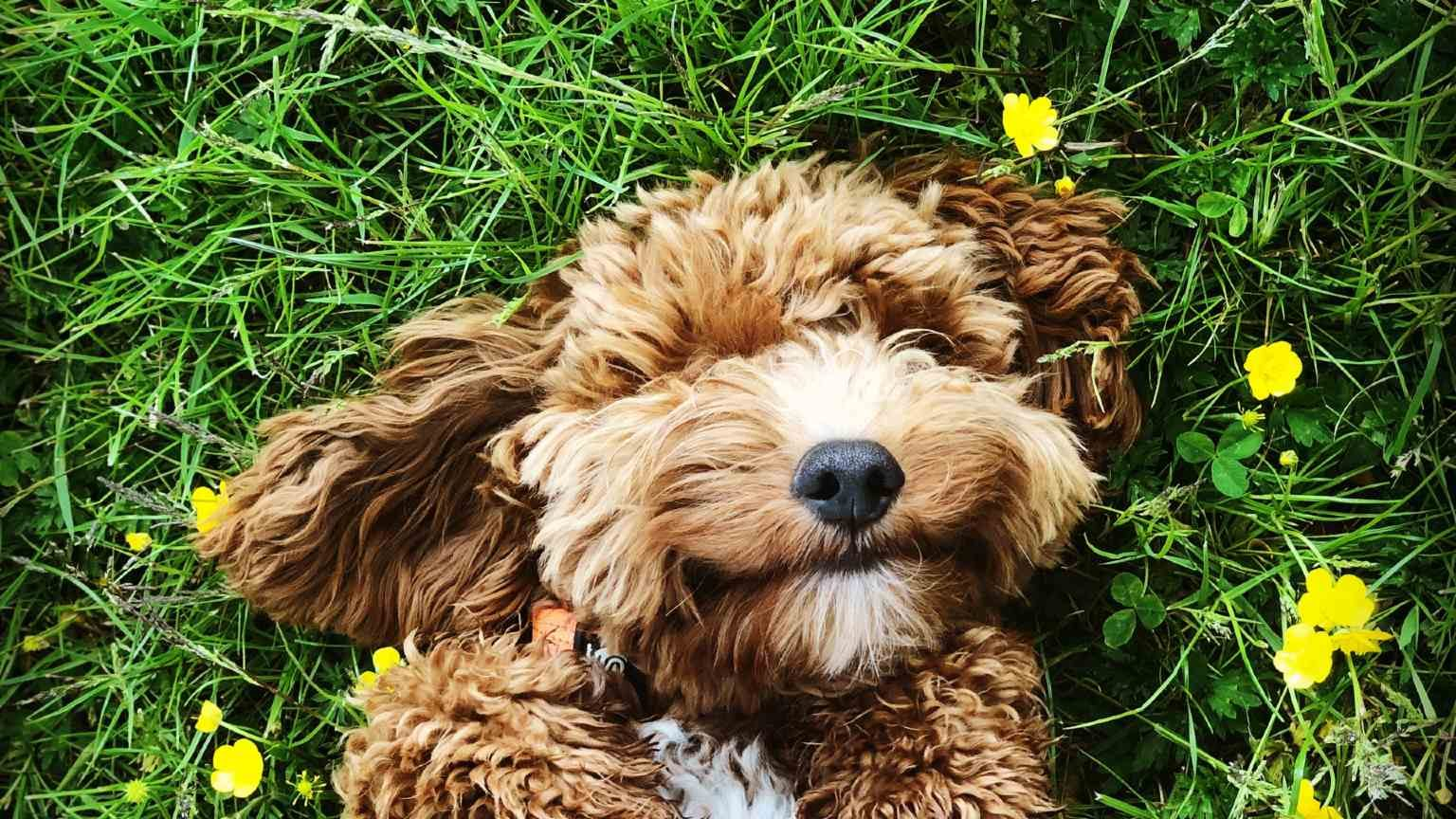 Cockapoo puppy in grass