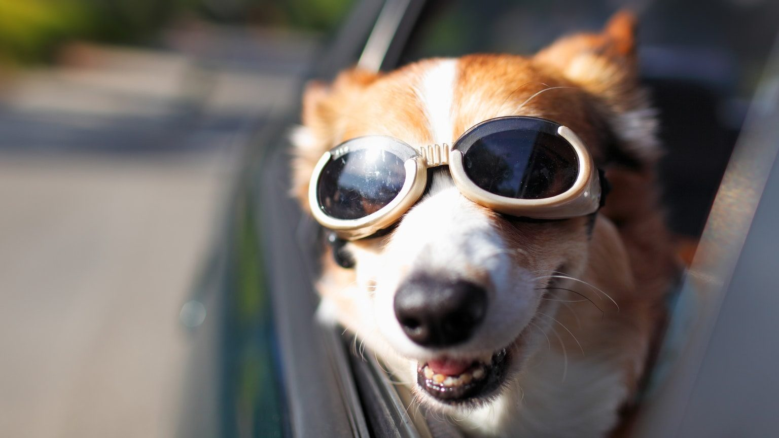 Dog wearing goggles hanging out of car window