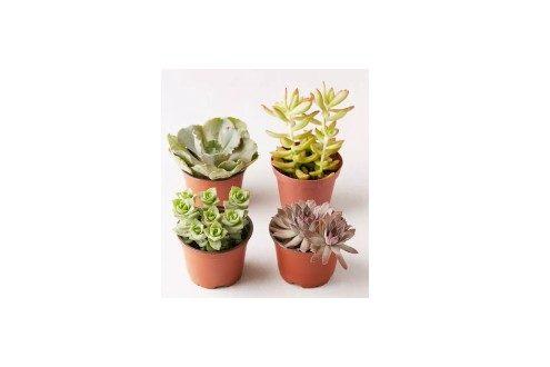 Live Assorted Succulents