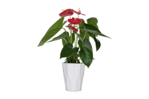Essential Anthurium Plant
